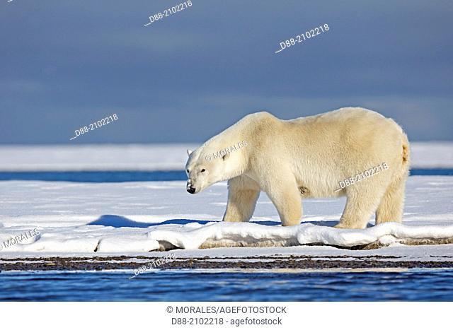 United States , Alaska , Arctic National Wildlife Refuge , Kaktovik , Polar Bear( Ursus maritimus ) , along a barrier island outside Kaktovik, Alaska