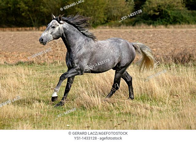 LUSITANO HORSE GALLOPING THROUGH MEADOW