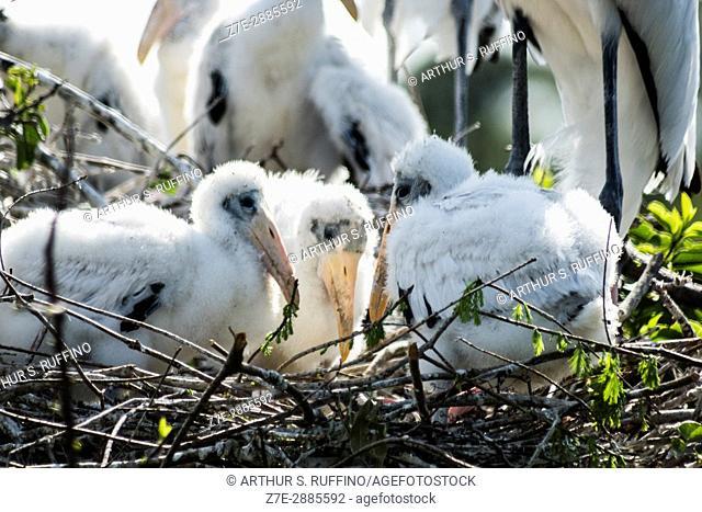 Wood stork chicks in nest, Florida, USA