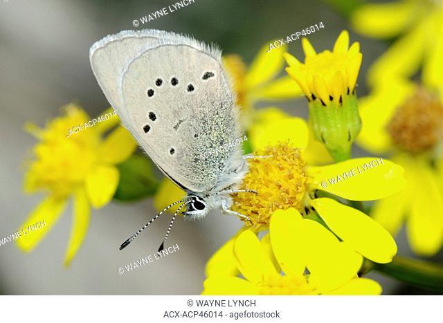 Spring azure Celastrina ladon, Okanagan Valley, southern Britsih Columbia, Canada