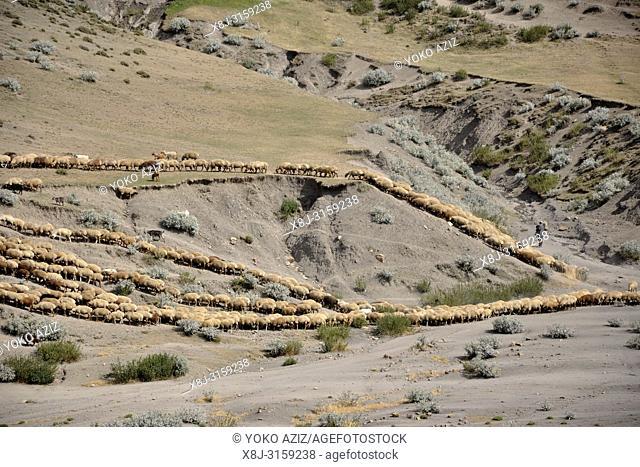 Azerbaijan, Khimalig village, flock
