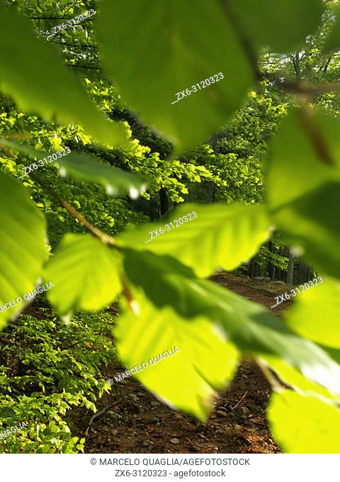 Beech tree leaves and Beech forest (Fagus sylvatica) at Coll de Te area and Marianegre Fountain surroundings. Montseny Natural Park