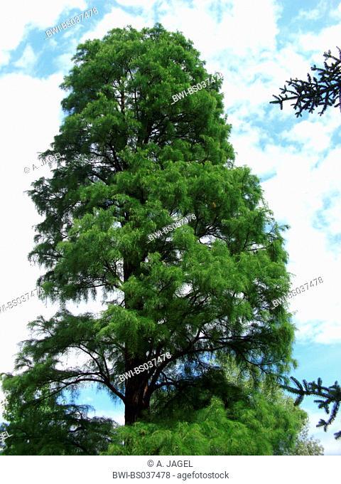 Pond Cypress, Pond Baldcypress (Taxodium ascendens, Taxodium distichum var. imbricatum), single tree