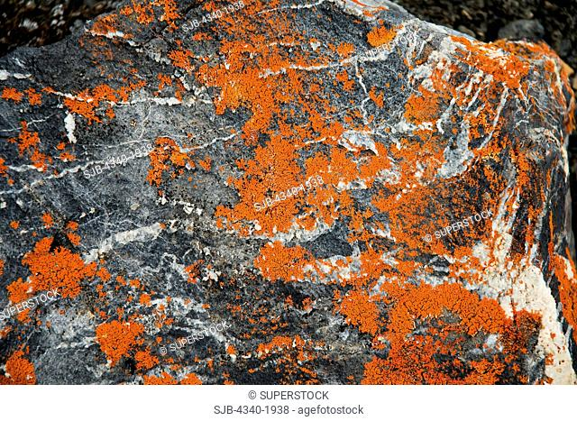 Colorful orange lichen grows on a rock on the tundra in summertime, St. Jonsfjord, west coast of Svalbard, Norway
