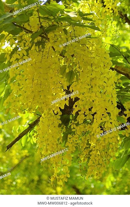 Sonalu or Golden shower Flower Dhaka, Bangladesh May 6, 2007