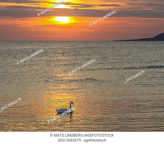 Mute swan swimming in the ocean in sunset, outside Gotland, Sweden