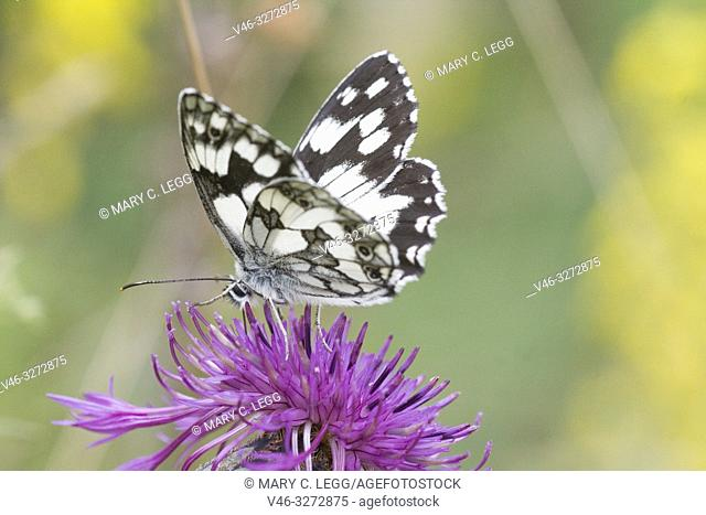 "Marbled White, Melanargaria galanthea. Large white butterfly with black marbling. Wingspan: 46â. ""56. Host plants: Brachypodium pinnatum, Bromus erectus"