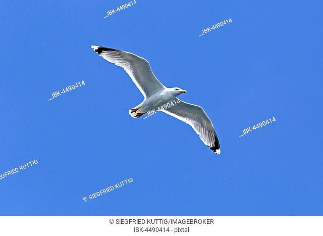 Flying European herring gull (Larus argentatus), Kiel, Schleswig-Holstein, Germany