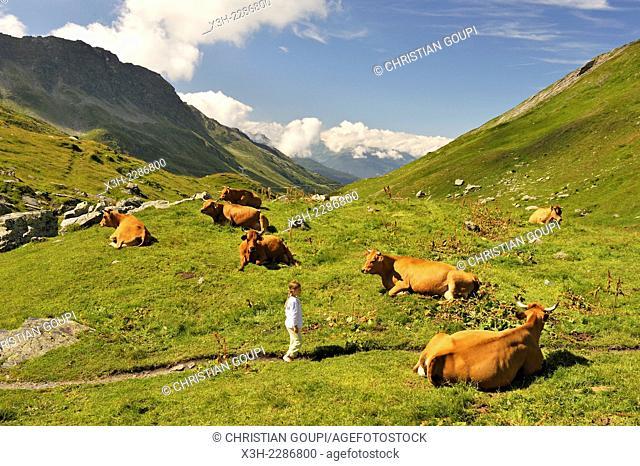 little girl walking among Tarentaise cows lying on high mountain pasture near Little St Bernard Pass, Savoie department, Rhone-Alpes region, France, Europe