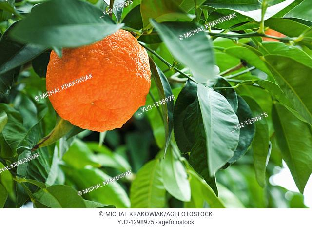 Mandarine on tree