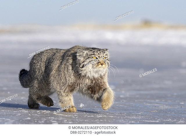 Asia, Mongolia, East Mongolia, Steppe area, Pallas's cat (Otocolobus manul), moving, walking