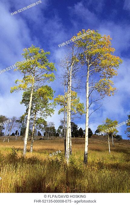 Quaking Aspen Populus tremuloides habit, in autumn colour, Grand Teton N P , Wyoming, U S A