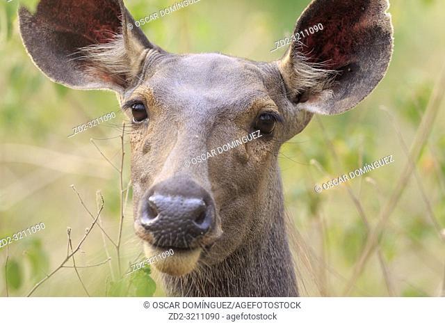 Female sambar deer (Rusa unicolor), head portrait. Corbett National Park. Uttarakhand. India