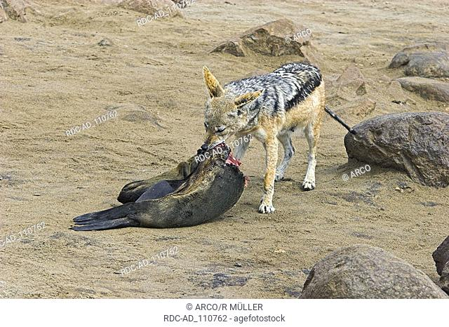 Black-backed Jackal at carcass of South African Fur Seal Cape Cross Namibia Canis mesomelas Arctocephalus pusillus
