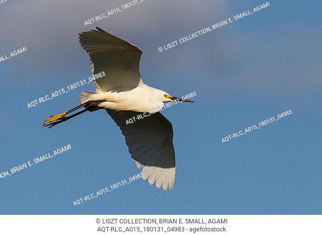 Egretta thula, Snowy Egret