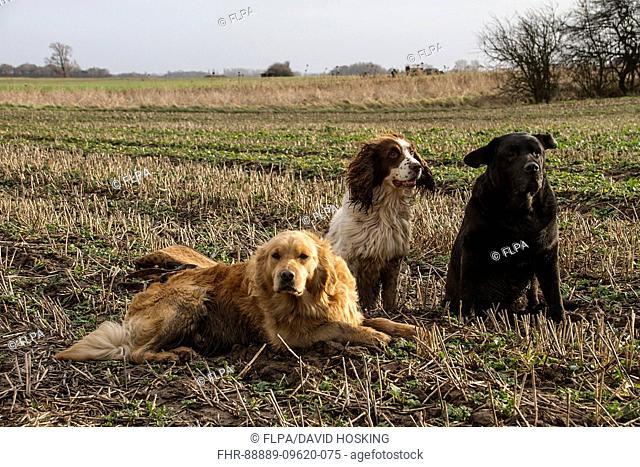 Working gun dogs in stubble field, Golden retriever, Springer spaniel, and black Labrador