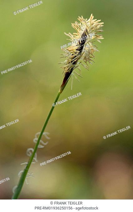 Carex pilosa / Wimper-Segge, Carex pilosa