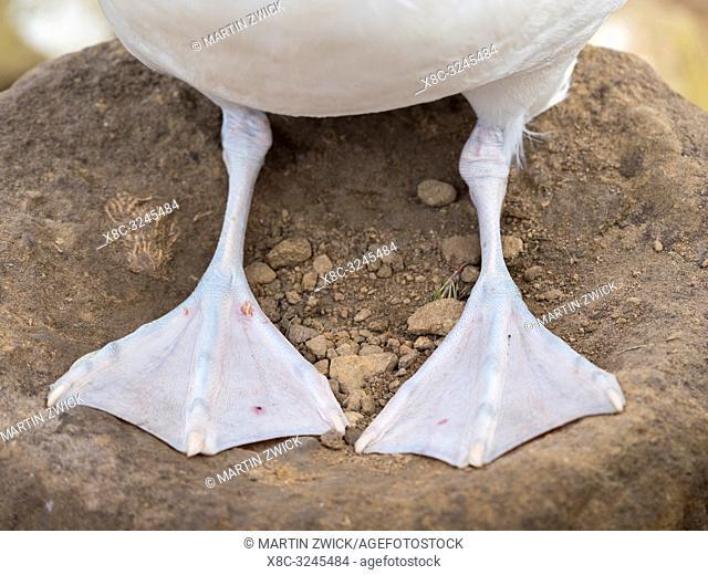 Webbed feet. Black-browed albatross or black-browed mollymawk (Thalassarche melanophris). South America, Falkland Islands, January
