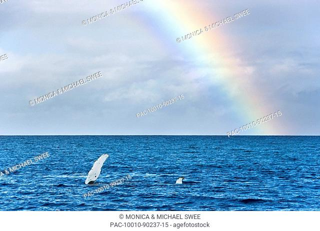 Hawaii, Maui, Rainbow over Humpback Whale Megaptera novaeangliae, Pectoral and tail fins just above surface sideways