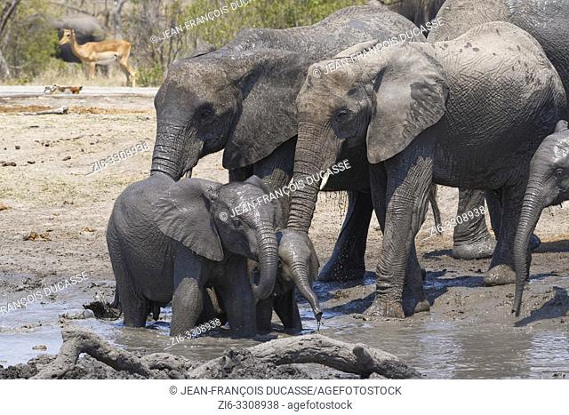 African bush elephants (Loxodonta africana), herd with calves and baby at a muddy waterhole, Kruger National Park, South Africa, Africa