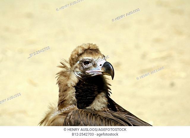 Black Vulture Aegypius monachus, Spain