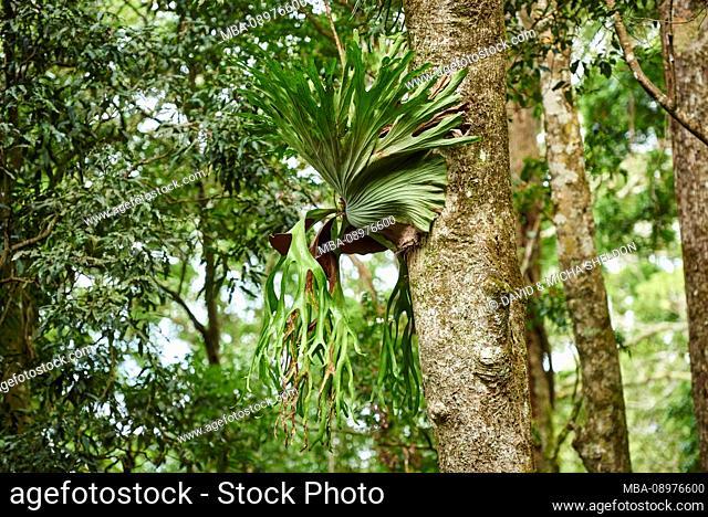 Landscape, staghorn fern (Platycerium superbum), Lamington National Park, Queensland, Australia, Oceania