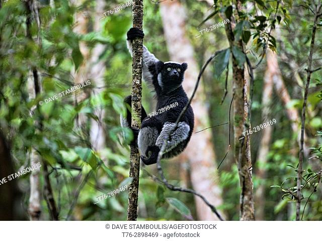 Indri, the largest species of lemur, Mitsinjo Reserve, Madagascar