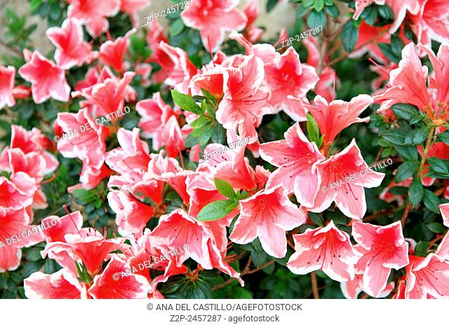 lots of azaleas blooming in spring in garden Tuscany, Italy