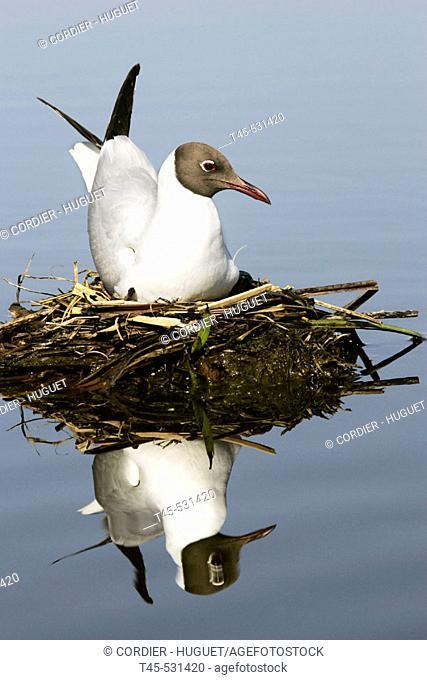 Black headed Gull (Larus ridibundus). Hungary