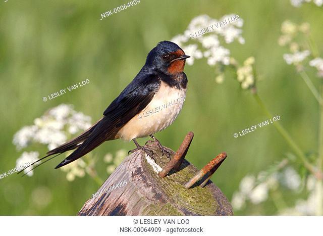 barn swallow (hirundo rustica) resting on a pole, The Netherlands, Gelderland, polder Arkemheen
