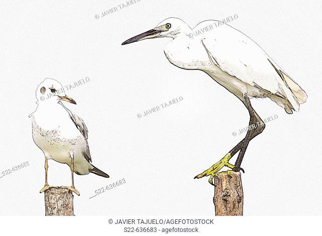 Little Egret (Egretta garzetta) and Black-headed Gull (Larus ridibundus)