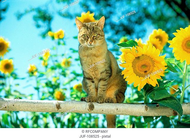 domestic cat on wood truss - next to sun flowers