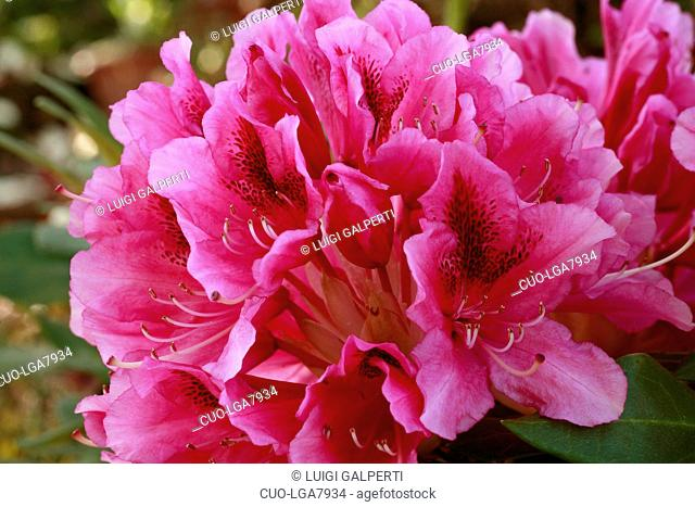 Rhododendron Last Hurrah
