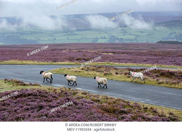 Sheep on the road with heather in bloom - North York Moors, Yorkshire, UK