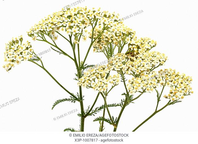 Yarrow Achillea millefolium