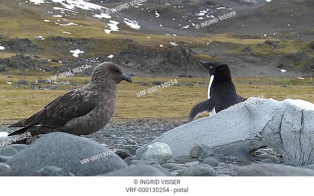 Great skua Stercorarius antarctica next to adelie penguin Pygoscelis Adeliae on rocks. Antarctic peninsula