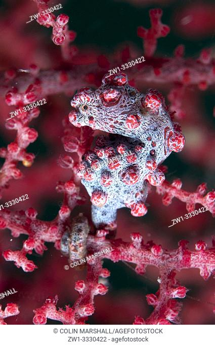 Bargibanti's Pygmy Seahorse (Hippocampus bargibanti, Syngnathidae family) on sea fan, Nudi Retreat dive site, Lembeh Straits, Sulawesi, Indonesia