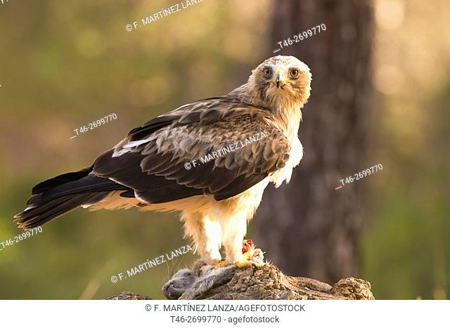 Booted eagle or (booted eagle). Photographed in Motilla del Palancar Cuenca