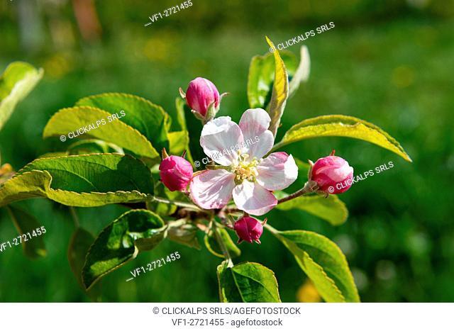 Europe, Italy, Trentino Alto Adige, Non Valley, apple blossoms in springtime