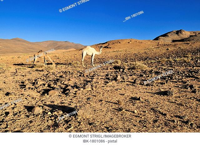 Two camels in volcanic landscape of Atakor, Hoggar, Ahaggar Mountains, Wilaya Tamanrasset, Algeria, Sahara, North Africa