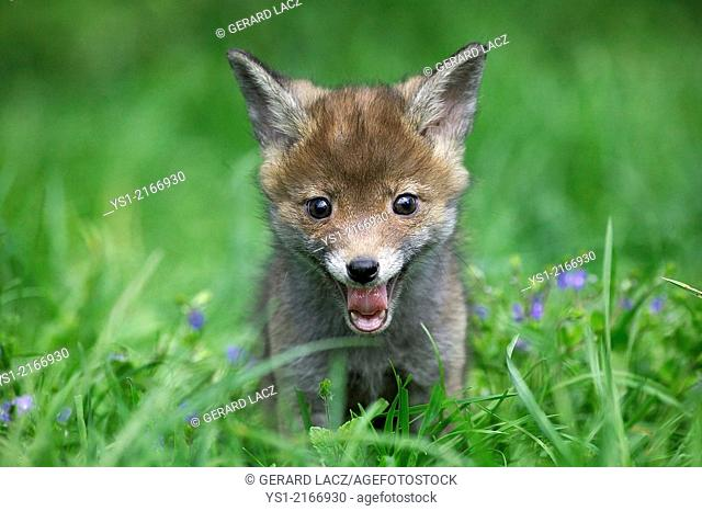 Red Fox, vulpes vulpes, Cub Yawning, Normandy