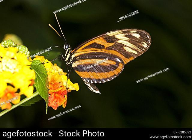 Eueides butterfly, eueides isabella, adult on flower