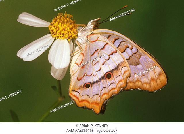White Peacock Butterfly (Anartia jatrophae), on Spanish Needle Flower, Florida