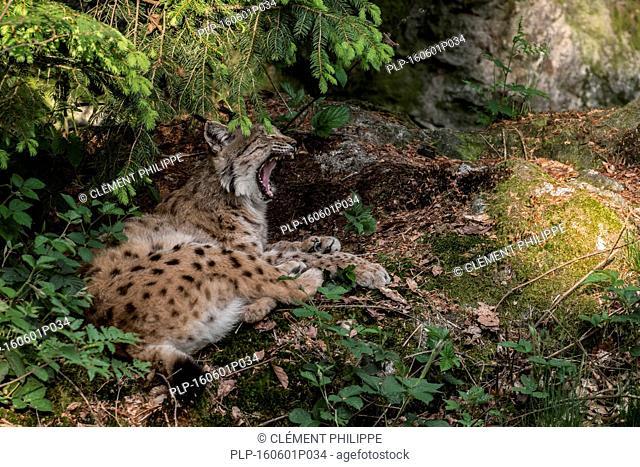 Sleepy Eurasian lynx (Lynx lynx) resting in pine forest and yawning