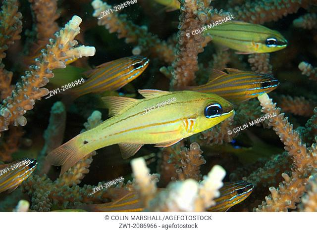 School of Spotgill Cardinalfish (Apogon chrysopomus) at Magic Rock dive site in Lembeh Straits in Sulawesi in Indonesia
