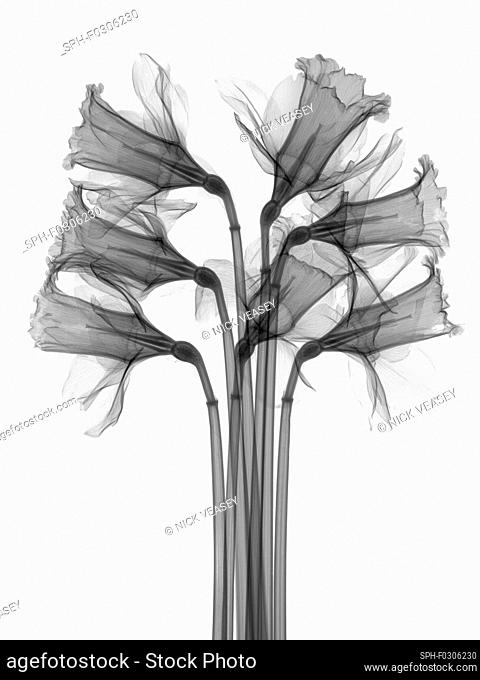 Daffodils, X-ray