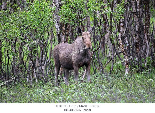 Elk (Alces alces), cow in front of birch forest, Lapland, Norway