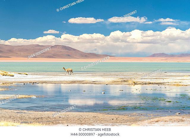 South America, Andes, Altiplano, Bolivia, Termas de Polques, Vicugna vicugna, Vicuna