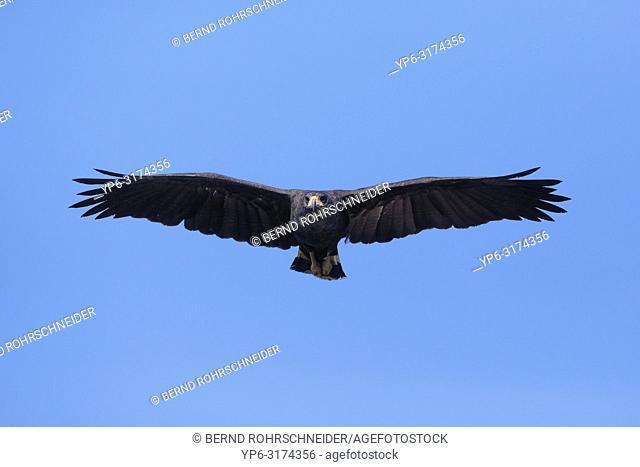 Great black hawk (Buteogallus urubitinga), adult flying, Pantanal, Mato Grosso, Brazil