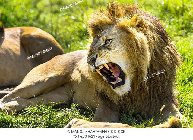 Male lion snarling at cub